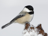 Black-Capped Chickadee (Poecile Atricapillus) on Icy Stump Photographic Print by Arthur Morris