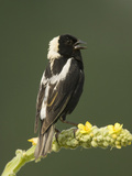 Male Bobolink Singing, Dolichonyx Oryzivorus, North America Reproduction photographique par Joe McDonald