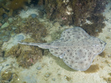 Little Skate (Leucoraja Erinacea), Rockport, Massachusetts, USA, North Atlantic Ocean Photographic Print by Andy Murch