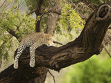 Leopard Sleeping in a Tree (Panthera Pardus), Samburu, Kenya Fotografie-Druck von Mary Ann McDonald