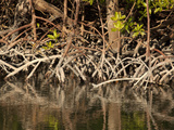 Red Mangroves (Rhizophora Mangle) Mangrove Trees Help Extend Land Outwards into Shallow Bays Photographic Print by Marli Miller