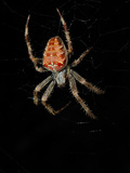 A European Garden Spider (Araneus Diadematus) on its Web at Night Photographic Print by Fabio Pupin