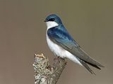 Tree Swallow (Tachycineta Bicolor), Maine, USA Photographic Print by Garth McElroy