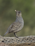 Scaled Quail Calling, Callipepla Squamata, Western USA Photographic Print by Charles Melton