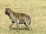 Spotted Hyena (Crocuta Crocuta) Walking in the Masai Mara Game Reserve, Kenya Photographic Print by Joe McDonald