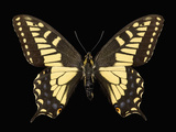 Adult Stage of the Anise Swallowtail Butterfly (Papilio Zelicaon) Photographic Print by Jeffrey Miller