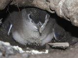 Little Penguin (Eudyptula Minor) Chick Inside the Nest Burrow Photographic Print by Richard Roscoe