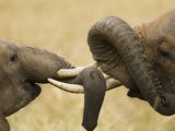 African Elephants (Loxodonta Africana) Wrestling with Tusks, Masai Mara Game Reserve, Kenya Photographic Print by Joe McDonald