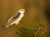 Black-Winged Kite (Elanus Caeruleus), Masai Mara, Kenya Photographic Print by Joe McDonald