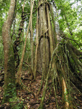 Strangler or Weeping Fig Tree (Ficus Benjamina), Danum Valley Conservation Area, Sabah Photographic Print by Thomas Marent