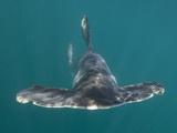 Smooth Hammerhead Shark (Sphyrna Zygaena) Sea of Cortez, La Paz, Baja California, Mexico Photographic Print by Andy Murch