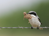 Loggerhead Shrike, Lanius Ludovicianus, with a Horned Lizard Prey, Phrynosoma, in its Bill, Texas Papier Photo par Arthur Morris