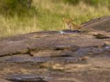 Afican Lioness Prowling for Prey, Masai Mara, Kenya Photographic Print by Joe McDonald