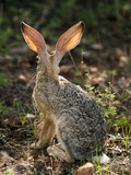 Cape Hare's (Lepus Capensis) Ears, Samburu Game Reserve, Kenya, Africa Photographic Print by Mary Ann McDonald
