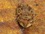 Asian Tree Frog, Danum Valley Conservation Area, Sabah, Borneo, Malaysia Photographic Print by Thomas Marent
