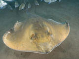 Stingray (Dasyatis Pastinaca) Los Gigantes, Tenerife, Canary Islands, Atlantic Ocean Photographic Print by Andy Murch