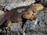 Galapagos Land Iguana (Conolophus Subcristatus), South Plaza Island, Galapagos Photographic Print by Richard Roscoe