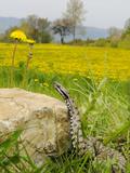 Asp Viper (Vipera Aspis) Near a Dandelion Field, Italy Photographic Print by Fabio Pupin