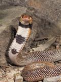 Coral Cobra (Aspidelaps Lubricus Cowlesi) with Head Raised, Namibia, Captivity Photographic Print by Joe McDonald