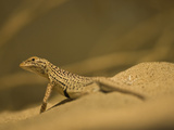 Desert Fringe-Toed Lizard (Uma Notata), Sonoran Desert, Arizona, USA Photographic Print by Joe McDonald