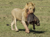 African Lion (Panthera Leo) Carrying a Young Hippo Carcass in its Mouth across the Savanna Photographic Print by Joe McDonald