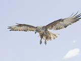 Galapagos Hawk (Buteo Galapagoensis) in Flight, Urbina, Isabella, Galapagos Photographic Print by Arthur Morris