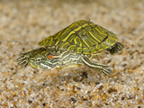 Red-Eared Turtle (Trachemys Scripta Elegans) Swimming Photographic Print by Joe McDonald