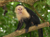 White-Throated Capuchin (Cebus Capucinus), Cahuita National Park, Costa Rica Photographic Print by Thomas Marent