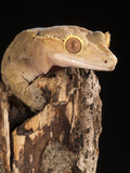 Crested Gecko Head (Rhacodactylus Ciliatus), New Caledonia, Captivity Photographic Print by Joe McDonald