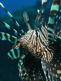 The Highly Venomous Lionfish or Devil Filefish (Pterois Miles) Photographic Print by Louise Murray