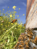 Honey Bee Forager Returns to the Beehive from Colzfield with a Load of Nectar Photographic Print by Eric Tourneret