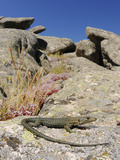 Bedriaga's Rock Lizard (Archaeolacerta Bedriagae) Photographic Print by Fabio Pupin