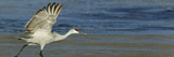 Sandhill Crane (Grus Canadensis) Preparing for Flight Reprodukcja zdjęcia autor Arthur Morris