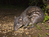 Lowland Paca (Cuniculus Paca) Feeding at Night, Costa Rica Photographic Print by Joe McDonald