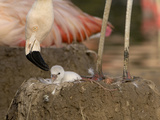 Chilean Flamingo (Phoenicopterus Chilensis) Adult with Small Chick in the Nest, Captive Photographic Print by Dave Watts