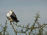 Black-Shouldered Kite (Elanus Caeruleus), Serengeti National Park, Tanzania Photographic Print by Mary Ann McDonald