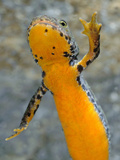 The Belly of an Alpine Newt (Mesotriton Alpestris), Italy Photographic Print by Fabio Pupin