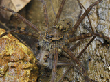 Wolf Spider Eating Another Spider (Lycosidae), San Cipriano Reserve, Cauca, Colombia Photographic Print by Thomas Marent