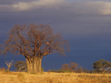 Baobab Tree (Adansonia Digitata), Masai Mara, Kenya Photographic Print by Joe McDonald