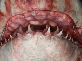 The Ragged Jaw of a Dead Porbeagle Shark Showing its Sharp Teeth (Lamna Nasus) Photographic Print by Andy Murch