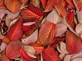 Dogwood Leaves in Autumn Photographic Print by Robert & Jean Pollock