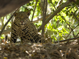 Jaguar (Panthera Onca) Along a Riverbank in Brazil's Pantanal Wetlands Photographic Print by Joe McDonald