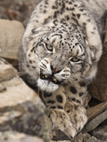 Snow Leopard (Panthera Uncia), Controlled Situation Photographic Print by Joe McDonald