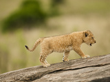 African Lion (Panthera Leo) Cub Climbing a Log in the Masai Mara, Kenya Photographic Print by Joe McDonald
