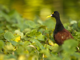 Male Northern Jacana (Jacana Spinosa), Tortuguero National Park, Costa Rica Photographic Print by Joe McDonald