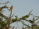 Greater Kestrel (Falco Rupicoloides), Serengeti National Park, Tanzania Photographic Print by Mary Ann McDonald