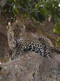 African Leopard on Rock Grooming (Panthera Pardus), Masai Mara, Kenya Africa Photographic Print by Joe McDonald