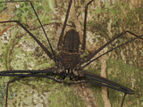 Tailless Whip Scorpion (Amblypygi), Allpahuayo Mishana National Reserve, Iquitos, Peru Photographic Print by Thomas Marent