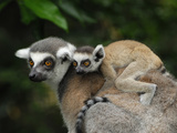 Close Up of a Ring-Tailed Lemur with its Baby Riding on its Back (Lemur Catta), Madagascar Photographic Print by Thomas Marent
