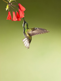 White-Throated Mountain-Gem Hummingbird Nectaring at a Red Tubular Flower Photographie par Joe McDonald